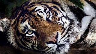 #4266. Тигры (В мире животных)