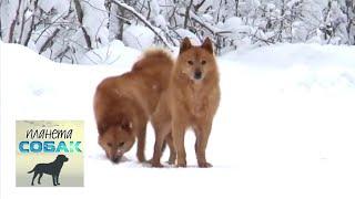 Карельская лайка. Планета собак 🌏 Моя Планета