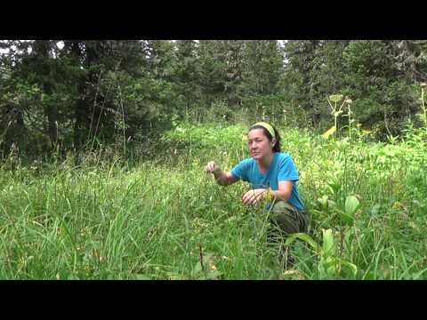 Сабельник болотный, фото, применение, настойка, свойства