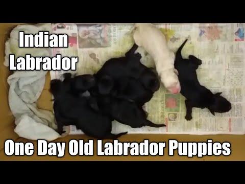 Original Labrador Puppies |1 Day Old Indian Labrador Puppies