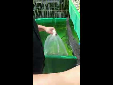 Introducing Fish And Crawfish Into An Aquaponics System
