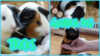 6 Tricks Any Guinea Pig Can Learn | Guinea Pig Tricks