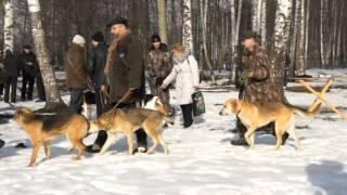 гончие-А выводка молодняка русских гончих в СПБ 2012.mkv