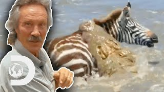 Zebras Risk Their Lives To Cross Crocodile Infested Waters | Big Cat Tales