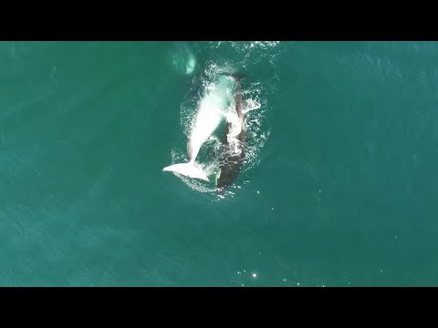 Group Of Orcas Hunt Minke Whale