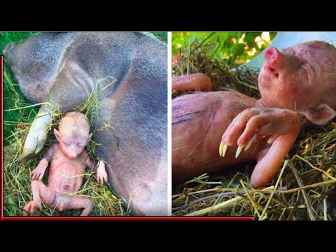Farmer's Pig Gives Birth To Human Baby, He Takes A Closer Look And Starts Crying
