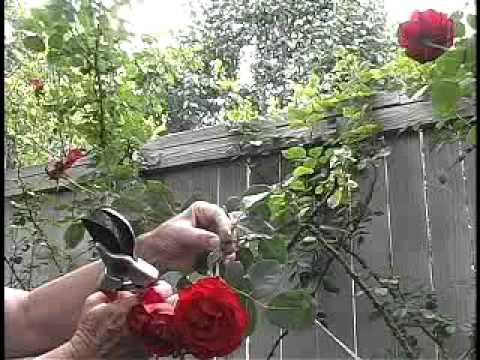 Deadheading Roses Youtube