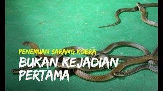 Teror Ular Kobra Di Klaten Bukan Kejadian Pertama Sudah Ditemukan 13 Ular Sebelumnya