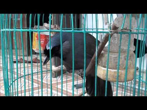 Chim khướu đen biết nói chào khách, bắt chước tiếng mèo có 1 không 2.wmv