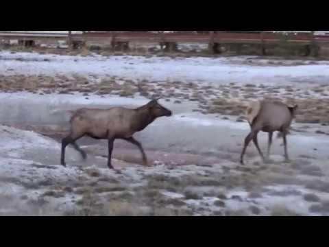 Buck Elk Chasing Doe - West Thumb Geyser Basin, Yellowstone