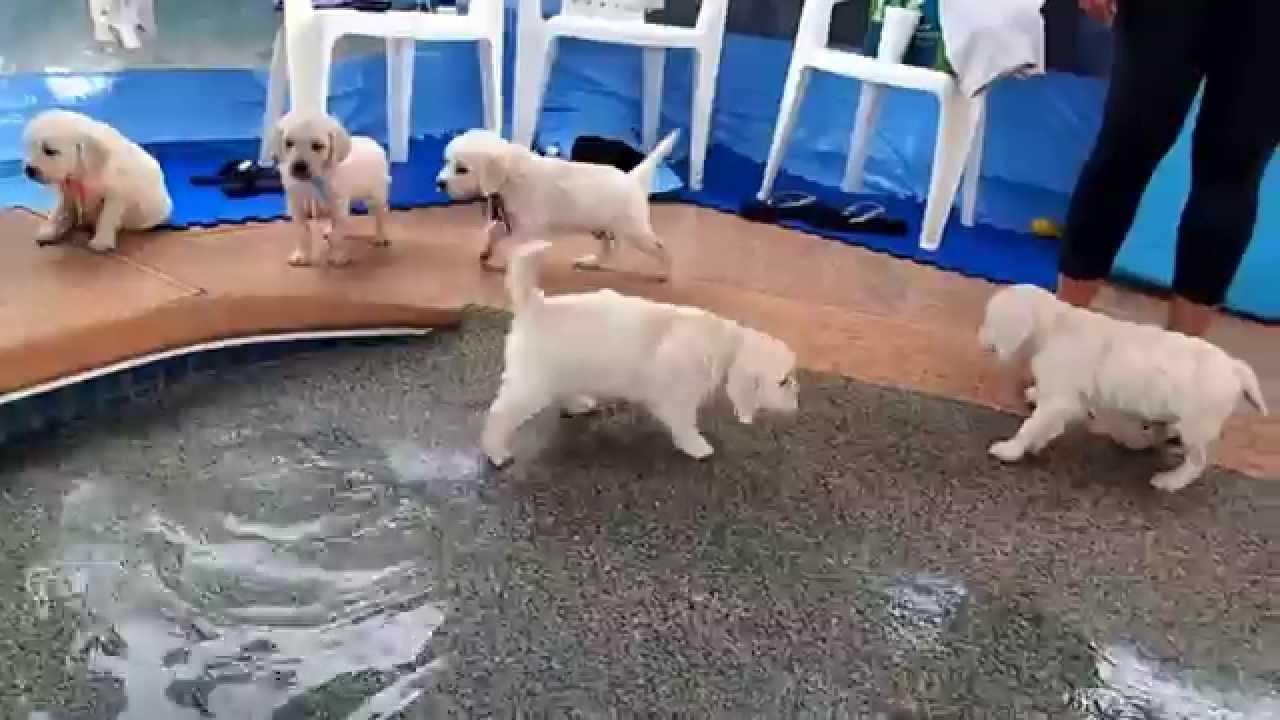 Eight English Cream Golden Retriever Puppies - first swim