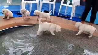 Eight English Cream Golden Retriever Puppies - first swim & jump!