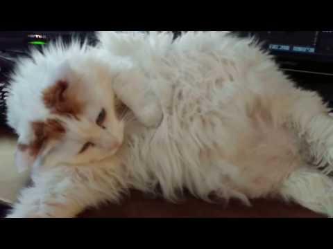 Japanese Bobtail cat Haiku takes over the keyboard