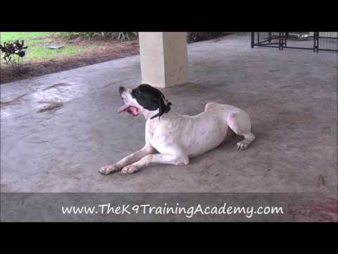 Advance Obedience with a Great Dane - The K9 Training Academy