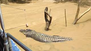 Crocodiles in the Northern Territory Crazy