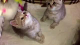 Шотландсие котята - мрамор на серебре 2