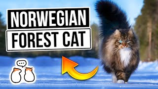The Norwegian Forest Cat – From Birth To Old Age