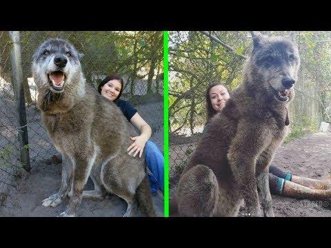 Refugio rescato a este perro lobo gigante, luego un ADN revel� porqu� era tan grande.
