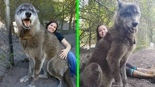 Refugio rescato a este perro lobo gigante, luego un ADN reveló porqué era tan grande.
