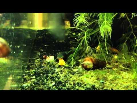 Gammarus Shrimp Scuds Gone Wild