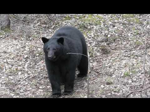 ALBERTA BLACK BEAR BOW HUNT