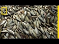 why billions of fish are luring scientists to this river national geographic