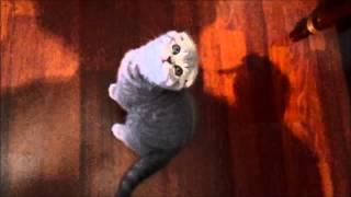 Шотландская вислоухая кошка (полная версия) / Scottish Fold (full version) / HD thumbnail