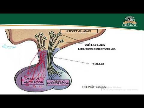 anatomÍa-de-la-glÁndula-hipÓfisis