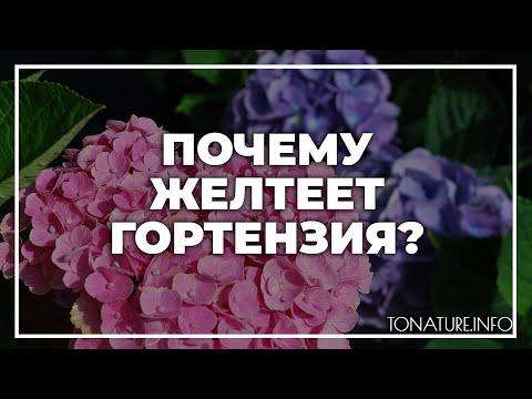 Вопрос: Почему желтеет метельчатая гортензия?