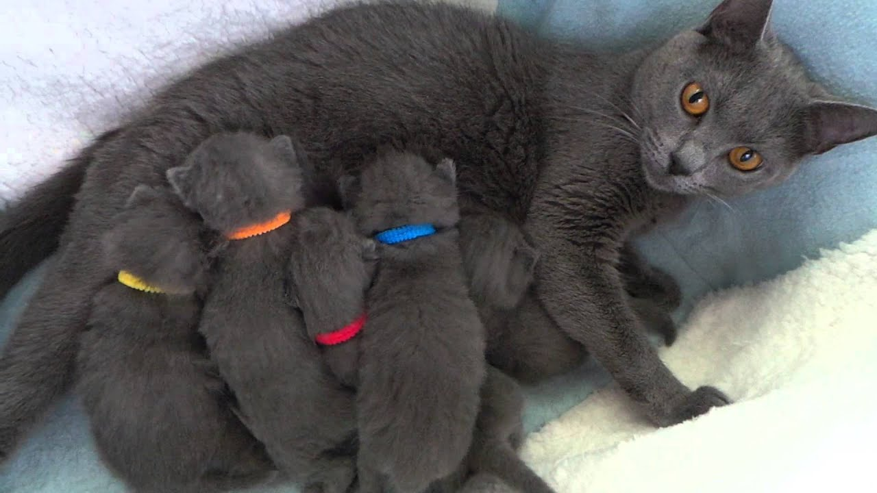 How much does a russian blue cat shed