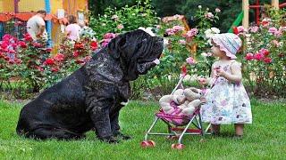 Собаки мастино наполетано