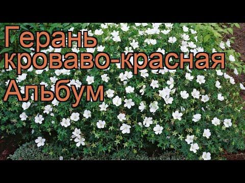 Герань кроваво-красная Альбум (geranium album) 🌿 Альбум обзор: как сажать, саженцы герани Альбум