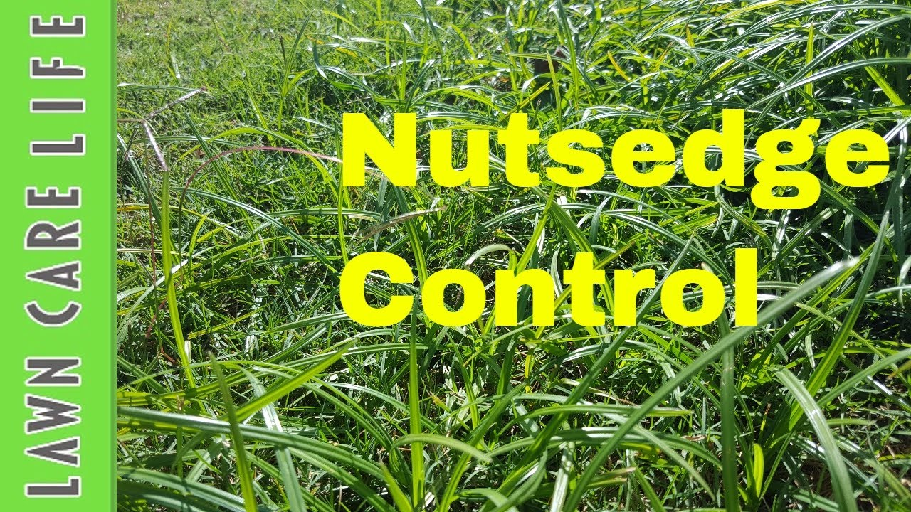 How to get rid of nut grass - How To Kill Nutsedge Aka Nutgrass Using Prosedge