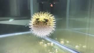 Jack-hole puffer fish