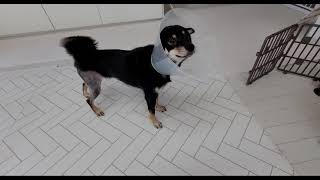 #슬개골 탈구 수술 10일차#회복 중인 시바견 모카#