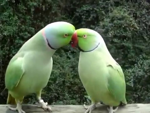 True Love...... Birds talking together& kissing