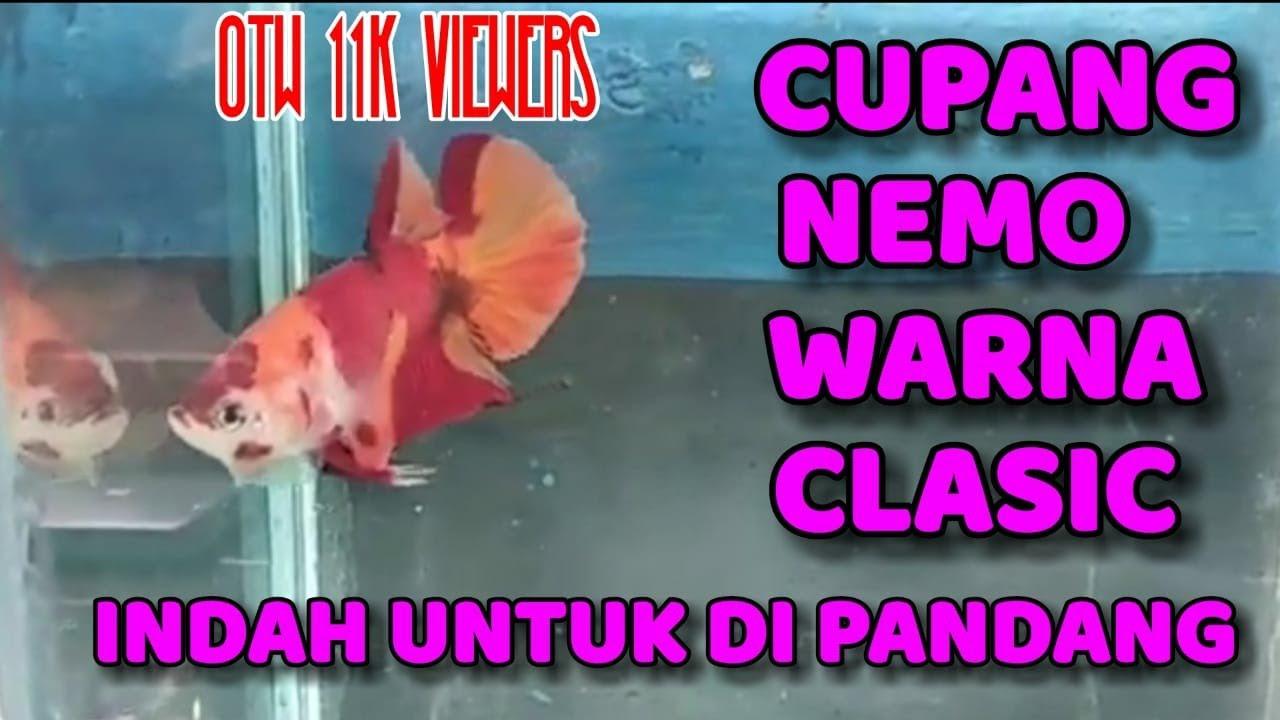 Beli Ikan Cupang Nemo Murah Youtube