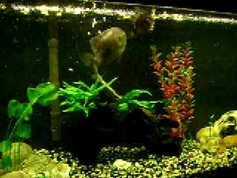 Bluegill and Pumkinseed sunfish in aquarium Lepomis macrochirus & gibbosus