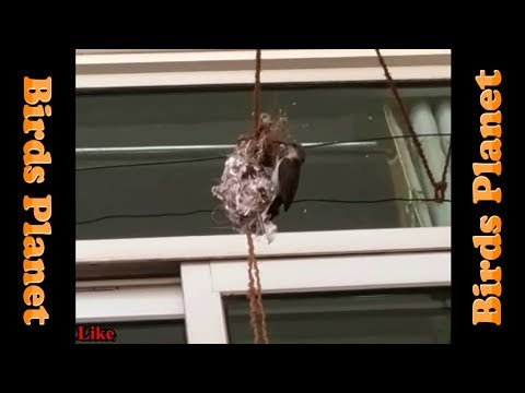Mother Bird FEEDING Baby Birds | Birds Planet