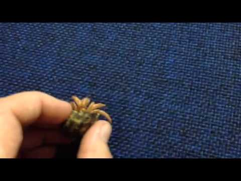 Baby Hermit Crab'Camo'wants her shell back!