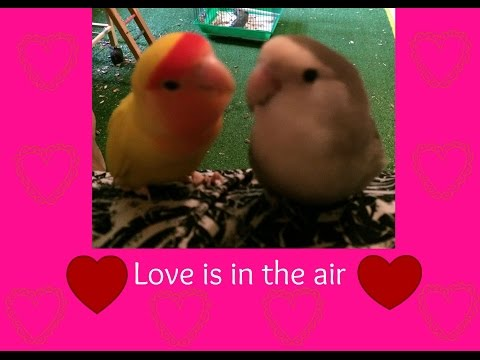 Lovebirds mating/breeding.