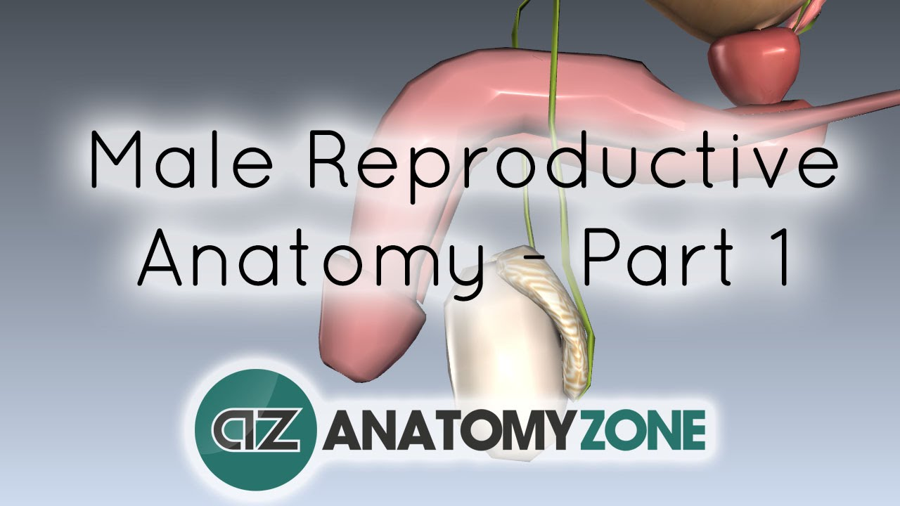 Introduction to Male Reproductive Anatomy - Part 1 - Testis and ...