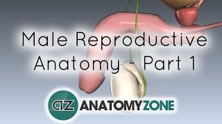 Introduction to Male Reproductive Anatomy - Part 1 - Testis and Epididymis