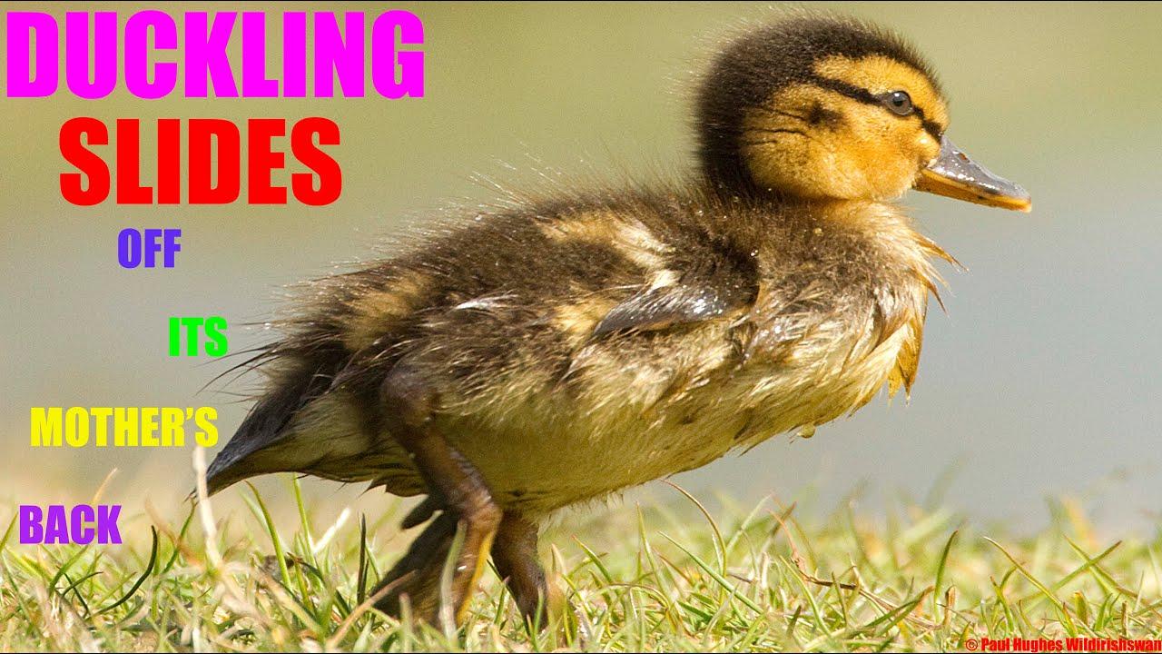 Duckling Slides Off Its Mother's Back