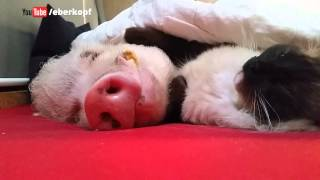 This Cat strokes a Pig like a Human Being ...