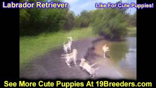 Labrador Retriever, Puppies, For, Sale, In, Green Bay, Wisconsin, Wi, Eau Claire, Waukesha, Appleton