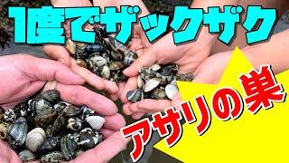 神奈川県横浜市金沢八景・野島公園で潮干狩りしたら、アサリが大漁でし...