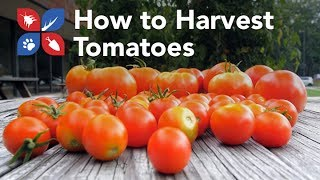 Do My Own Gardening - Harvesting Tomatoes