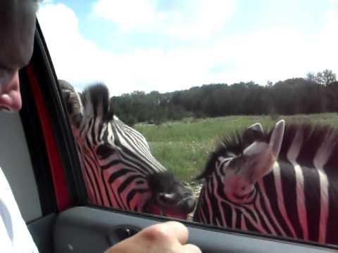 Zebras Begging for Food