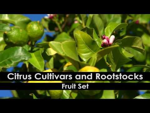Citrus Pruning: 1. Pruning Principles